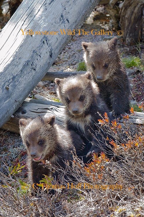 NOW LINE UP CHILDREN - Grizzly Cubs