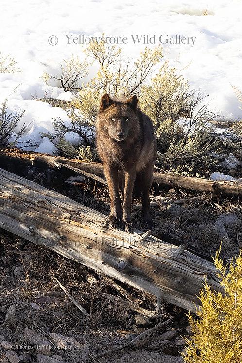 WAPITI EYES - Grey Wolf
