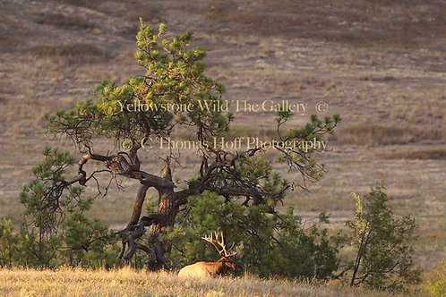 TWO OLD BULLS - Elk, Ponderosa Pine