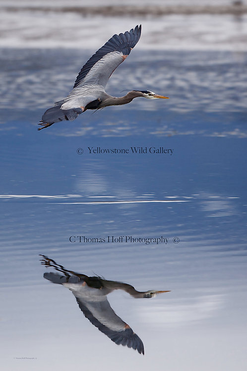GREAT BLUE REFLECTIONS - Great Blue Heron