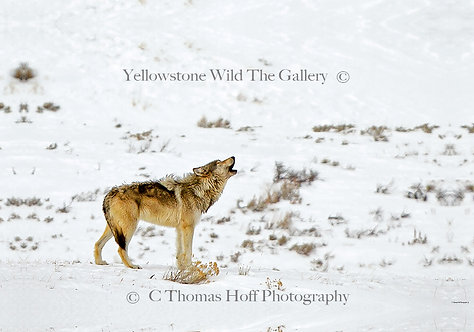 CALLING HOME - Grey Wolf