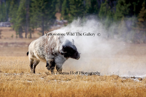 YELLOWSTONE DUST STORM - Bison