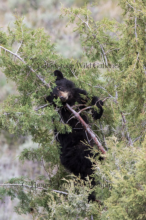 BERRIES BERRIES - Black bear cub