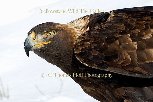 GOLDEN EYE - Golden Eagle