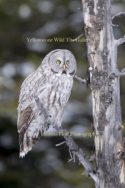 GHOST OF THE FOREST - Great Grey Owl