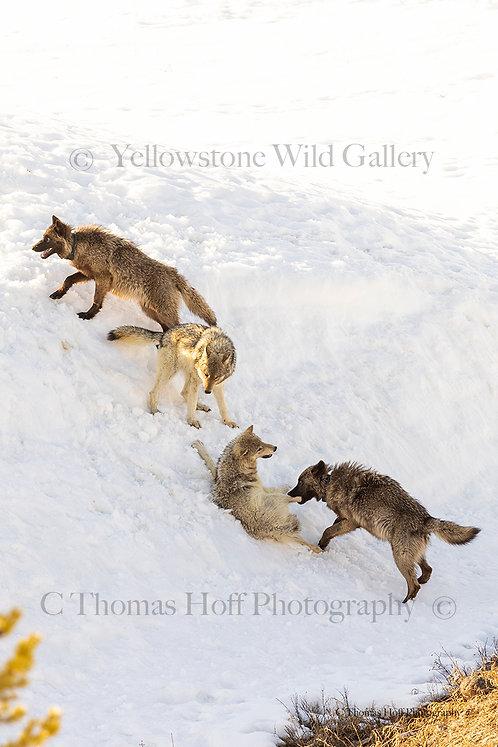 ROUGH HOUSING - Grey Wolves