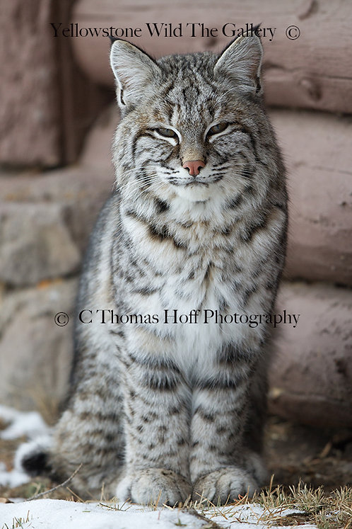 ROOSEVELT THE BOBCAT