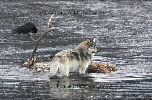 THE EPISODE AT SODA BUTTE CREEK - Grey Wolf