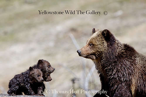 LECTURE OF THE DAY - Grizzly Bears