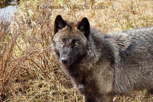 AMBER STARE - Grey Wolf