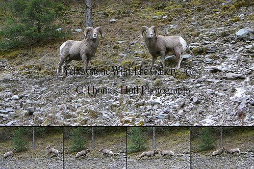 BATTLE OF THE BIGHORNS - Bighorn Sheep