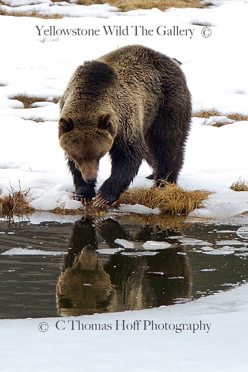 REFLECTIONS OF AN EARLY SPRING - Grizzly Bear