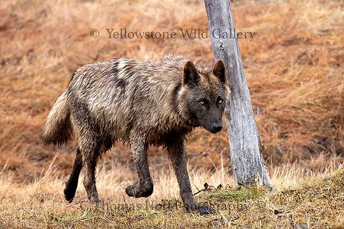 THE TRAVELER -Grey Wolf