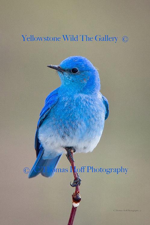 BRILLIANT BLUE - Mountain Bluebird