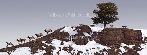 THE CHASE -Grey wolves, elk