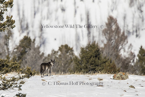 926 - Grey Wolf
