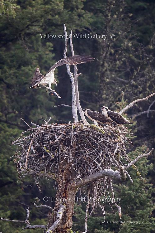 LAMAR CANYON - Osprey