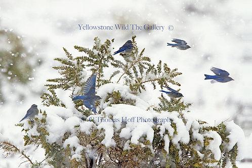 YELLOWSTONE BLUES - Mountain Bluebird
