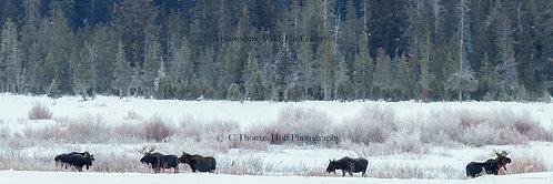 THE GATHERING AT ROUND PRARIE - Moose