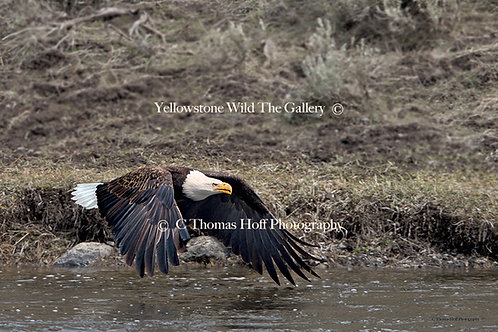 GLIDING OVER THE MADISON - Bald Eagle
