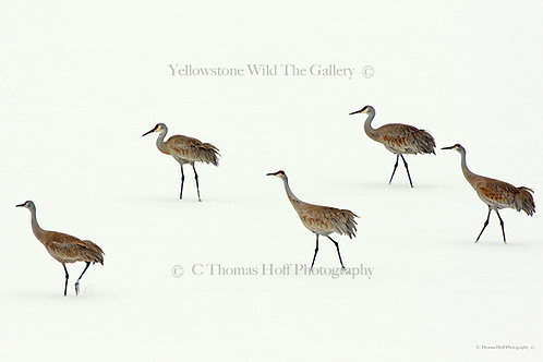 LOOKING FOR SPRING - Sandhill Cranes
