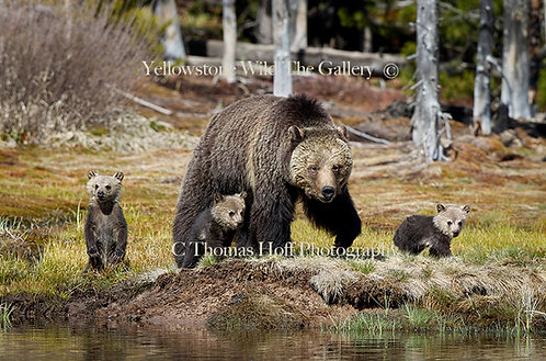 FIRST ADVENTURES IN YELLOWSTONE - Grizzly bears