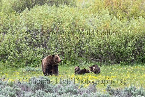 399 AT WILLOW FLATS - Grizzly & cubs