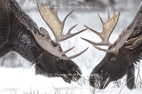 REUNION AT PEBBLE CREEK - Moose