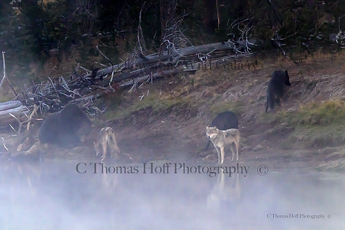 THROUGH THE MIST OF MY DREAMS -            Grey Wolves, Grizzly, Elk