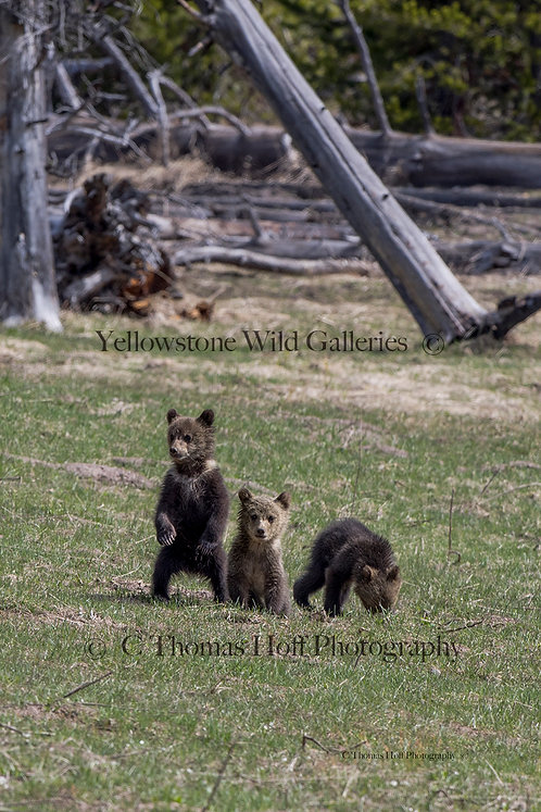 CUTENESS IN THREES- Grizzly cubs
