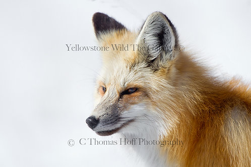 BRIGHT WINTER DAYS - Fox