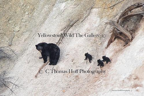 ROSIE AND HER BABIES 2018 - Black bears