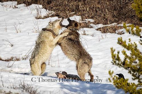 A LITTLE SPAT - Grey Wolves