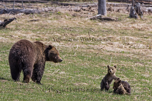 WATCHFUL MOMMA - Grizzly & cubs