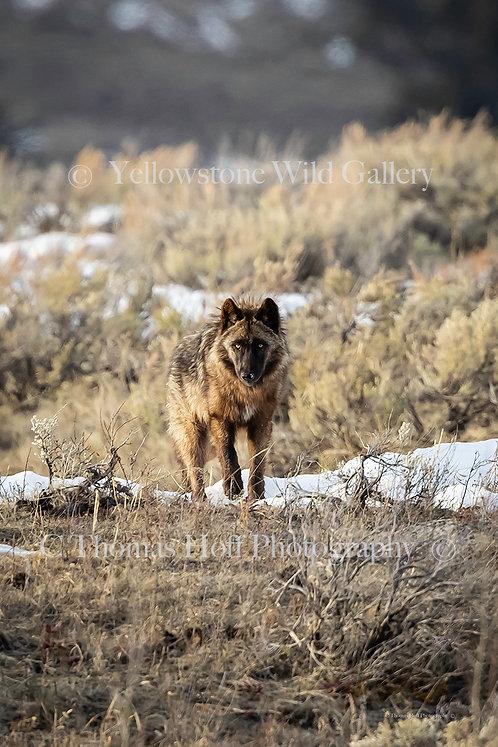 WILD BEAUTY - Grey Wolf