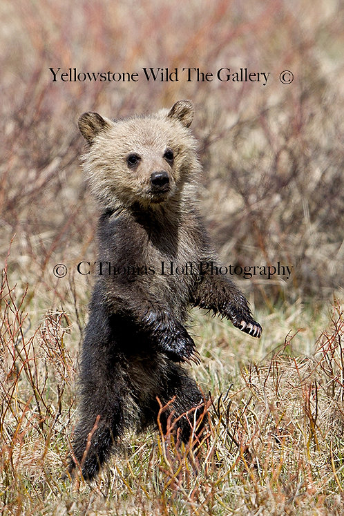 UP FOR SOMETHING NEW - Grizzly Cub