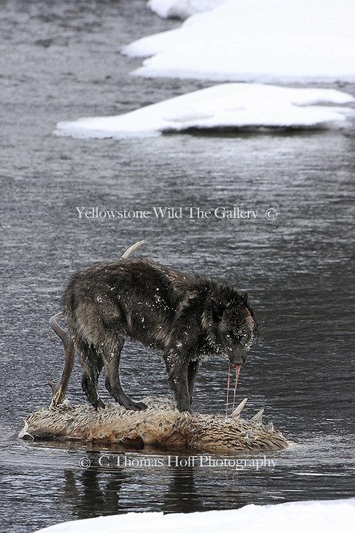 FIERCE GREEN FIRE - Grey Wolf (Color)
