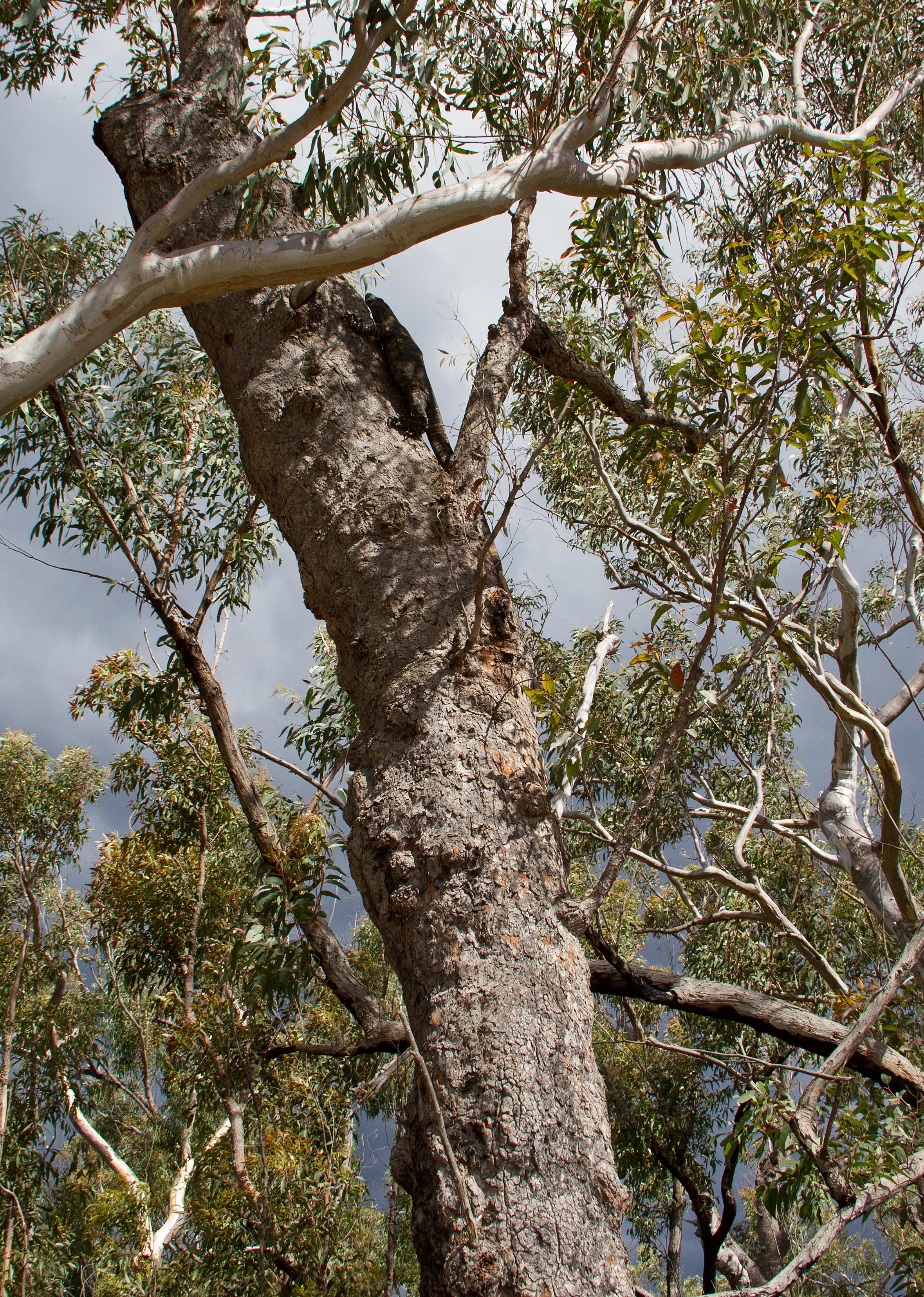Австралийский гигантский варан.jpg