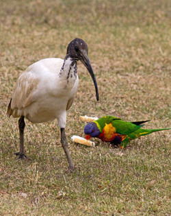 Ибис и попугайчик лорри_resize.jpg