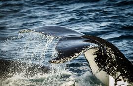 Горбатый кит 4.jpg