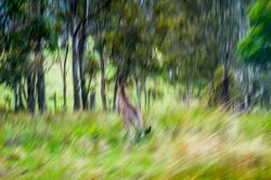 Погоня за кенгуру