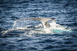 Горбатый кит 1.jpg