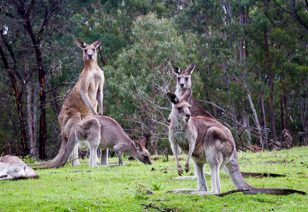 Стадо диких кенгуру