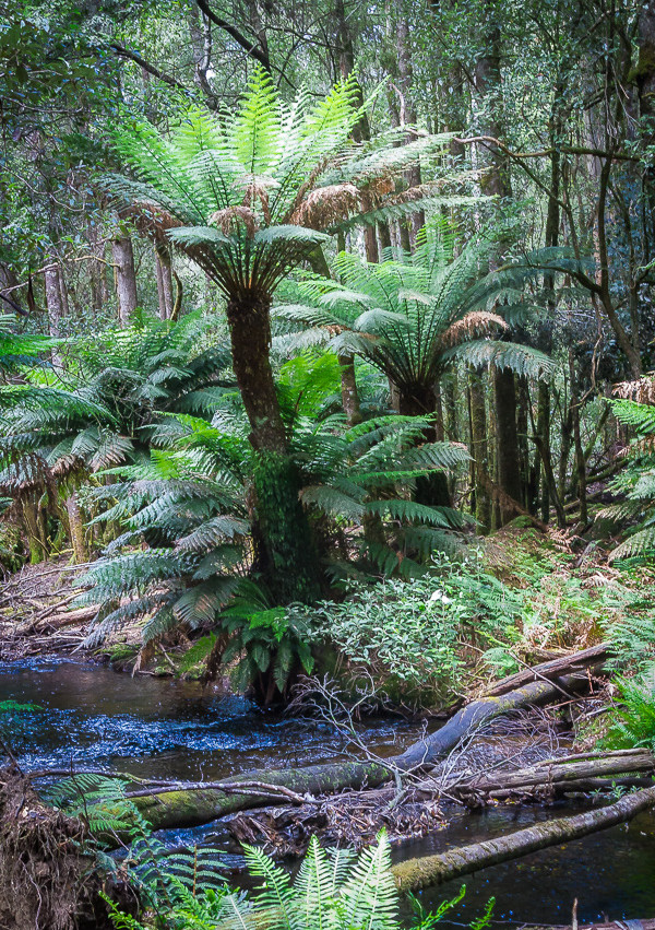 Влажные тропические леса Тасмании, это заросли древовидных папоротников по берегам ручьев в эвкалиптовых лесах.