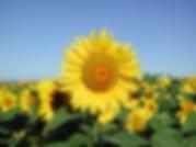field of sunflowers near chateau saint denis