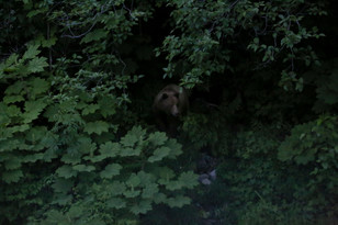 Barely spied this little grizz while I was heading out of Haines to camp at Chilkoot Lake.