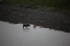Another cow moose and calf at the end of the day, echoing the cow and calf on the McCarthy Road that morning.  These two are in the White River, viewed here from its Alcan bridge. Though this point is a good ten or twelve hour drive from McCarthy, the headwaters of the river (which originates in the Russel Glacier near Skolai) are not that far from McCarthy. Way downstream, the White joins the Yukon River upstream of Dawson City.