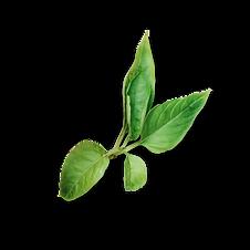 Basilico1.png