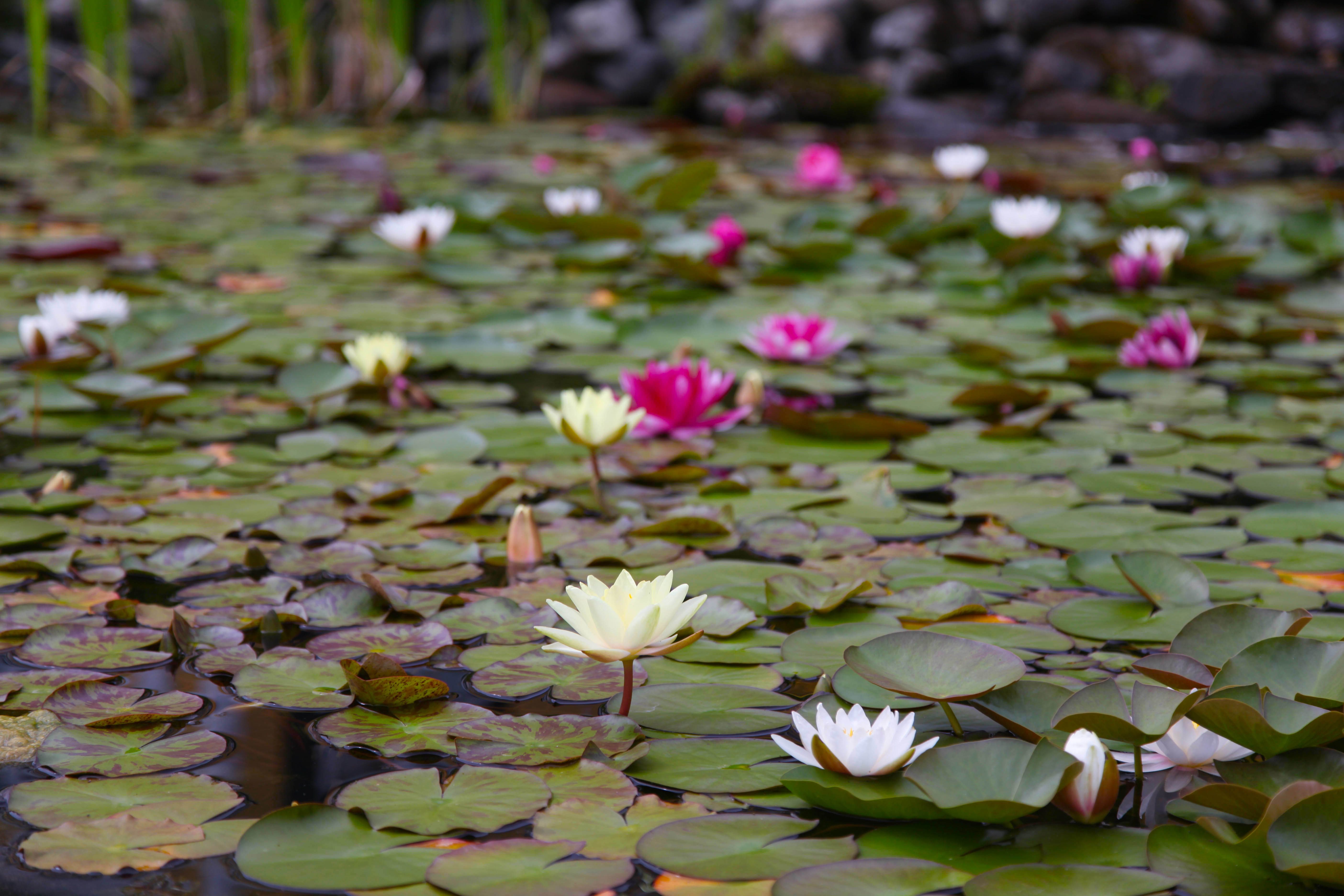 Flower lilly pads