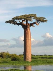 Baobab, tree of life